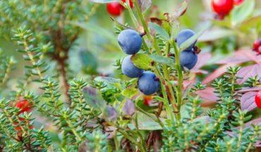 Beneficios medicinales del enebro