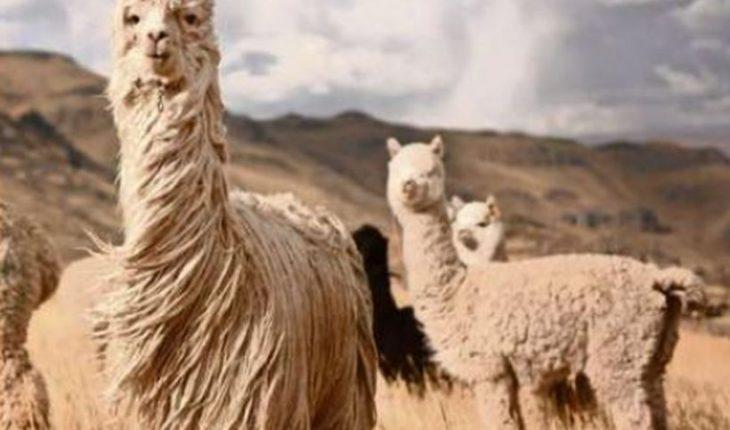 Covid-19: anticuerpo de las alpacas neutraliza a variantes más temidas