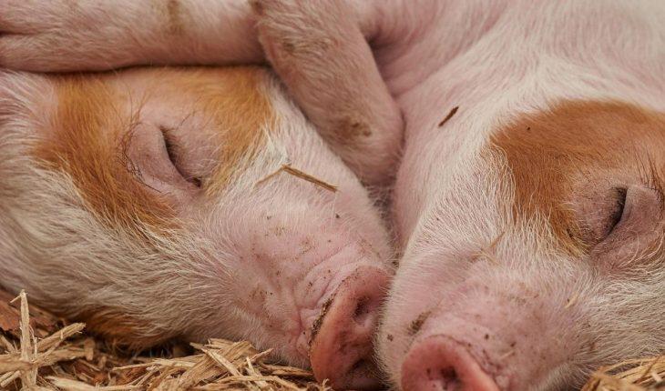 Porcicultores del municipio de Ahome luchan por salir adelante