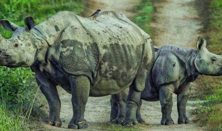 Nepal's rhino population is increasing, what is it all about?