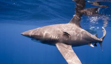 Bajan 70% poblaciones de tiburones y rayas en últimos 50 años por pesca