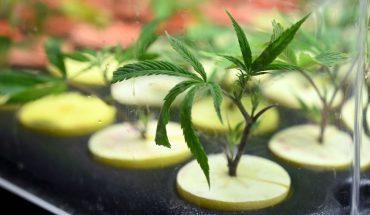 El gobierno envió al Congreso el proyecto para el marco regulatorio del cannabis