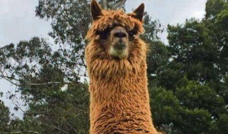 Empresa alemana compró licencia para comercializar anticuerpo de alpaca contra el covid creado en Chile