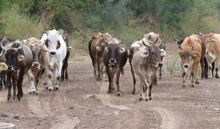 Sequía acaba con la vida del ganado en Salvador Alvarado