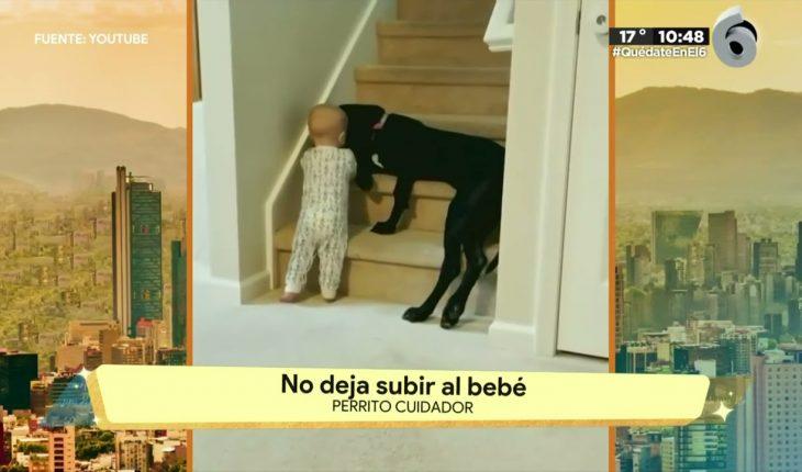Perrito cuida a bebé en escaleras | La Bola del 6