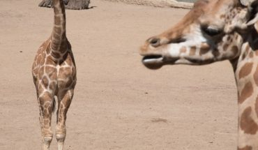 Adelita will be called the baby giraffe of the Chapultepec Zoo, know why
