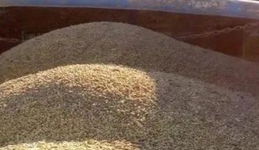 Available bean seed variety Azufrado Higuera