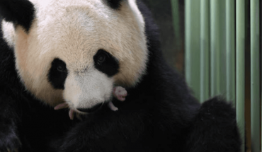 Total tenderness: Twin pandas were born in a zoo in France