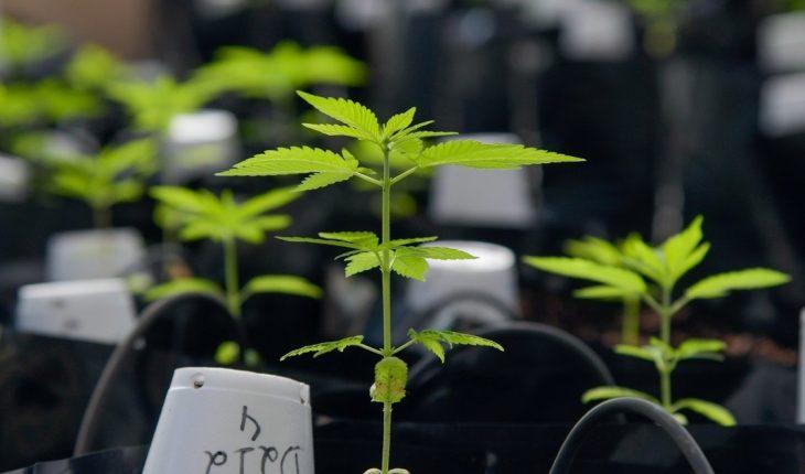 El 52% de la sociedad usaría el cannabis para aliviar dolores físicos