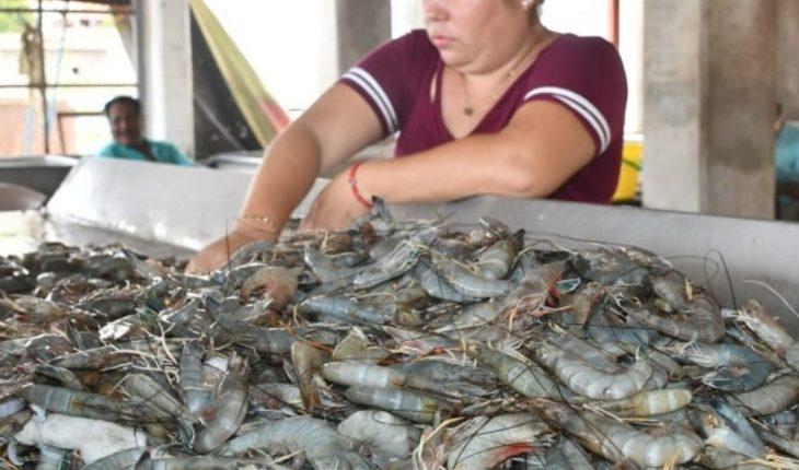 Levantan veda de camarón y registran baja pesca en Guasave