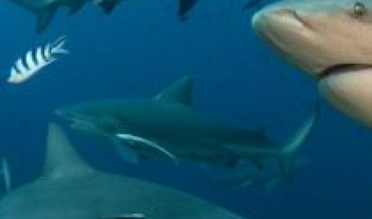 Nearly 40% of shark species are endangered